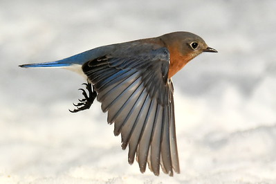 #1429  Eastern Bluebird, female  in flight