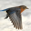 #1429  Eastern Bluebird, m  in flight