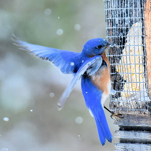 #1440  Eastern Bluebird, m  on suet