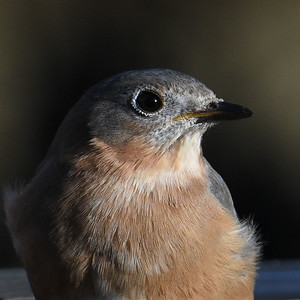 #1592  Eastern Bluebird portrait, female