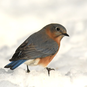 #1433  Eastern Bluebird, female  on snow