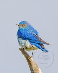 Fluffed-Up Bluebird