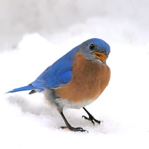 #1424  Eastern Bluebird, m  on snow