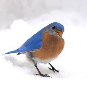 #1424  Eastern Bluebird, m  on snow