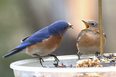 #1442  Eastern Bluebird pair - male feeding female (on right)