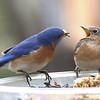 #1442  Eastern Bluebird pair - male feeding female (on right)