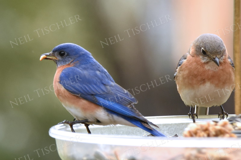 #1450  Eastern Bluebird pair  (male on left)       04-15-18