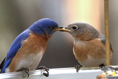 #1443  Eastern Bluebird pair - male feeding female (on right)