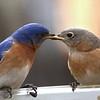 #1443  Eastern Bluebird pair - male feeding female (on right)
