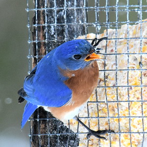 #1439  Eastern Bluebird, m  on suet