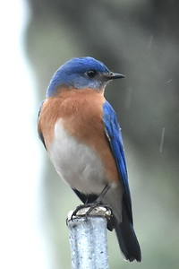 #1441  Eastern Bluebird, m  on pole
