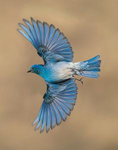 Male Mountain Bluebird Wings Wide