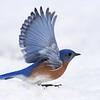 #1430  Eastern Bluebird, m  taking flight