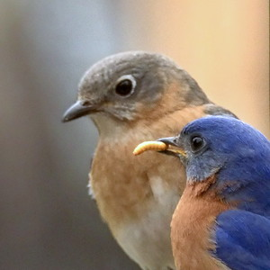 #1445  Eastern Bluebird pair - male preparing to feed mealworm to female