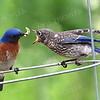 #905  A Bluebird parent feeds its demanding young.