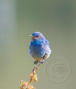 Bluebird Chirping