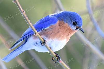 1363   Eastern Bluebird, male