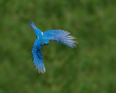 Bluebird Bonanza