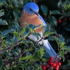#1145  Bluebird on Holly