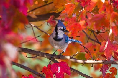 november backyard birds 0060