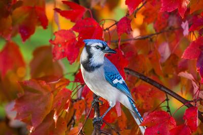 november backyard birds 0188