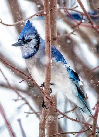 Blue Jay 0034