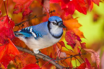 november backyard birds 0265