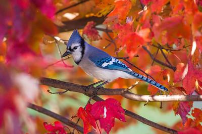 november backyard birds 0084