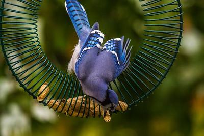 Backyard Birds Fall 2016 0157