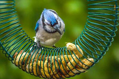 Backyard Birds Fall 2016 0307