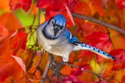 november backyard birds 0279