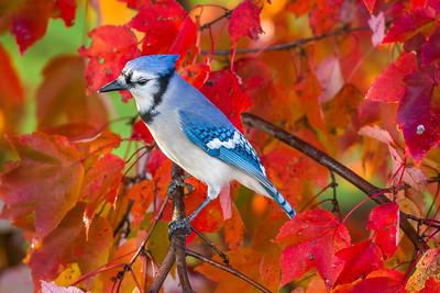 november backyard birds 0168
