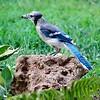 Blue Jay <br /> Bridgeton, MO <br /> 2004-07-04<br /> <br /> No. 15 on my Lifetime List of Bird Species <br /> Photographed in Missouri
