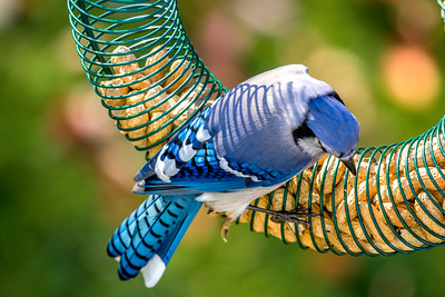 november backyard birds 0146