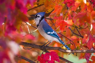 november backyard birds 0082