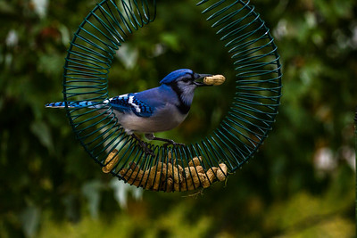 Backyard Birds Fall 2016 0055