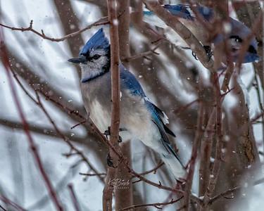 Blue Jay 0024