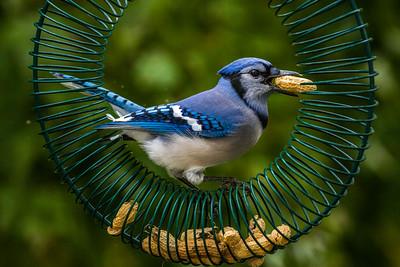 Backyard Birds Fall 2016 0136