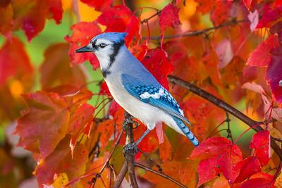 november backyard birds 0173