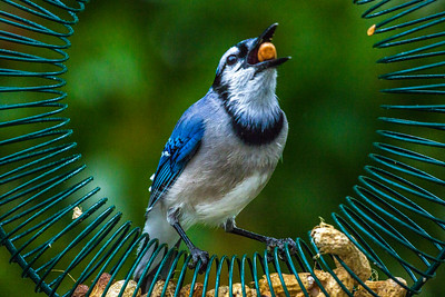 Backyard Birds Fall 2016 0324