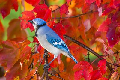 november backyard birds 0167