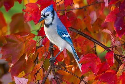november backyard birds 0192