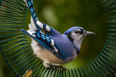 Backyard Birds Fall 2016 0186