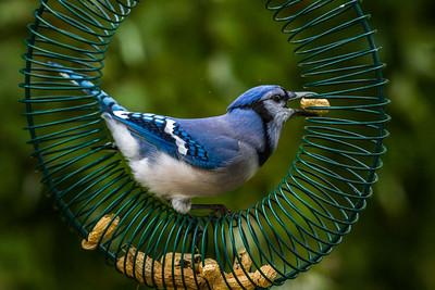 Backyard Birds Fall 2016 0133