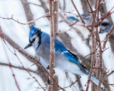 Blue Jay 0027