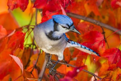 november backyard birds 0278