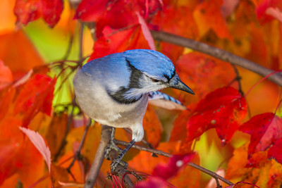 november backyard birds 0277