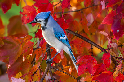 november backyard birds 0190