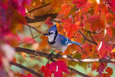 november backyard birds 0059