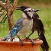 Blue Jay & Common Grackle